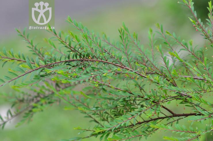 Phyllanthus myrtifolius