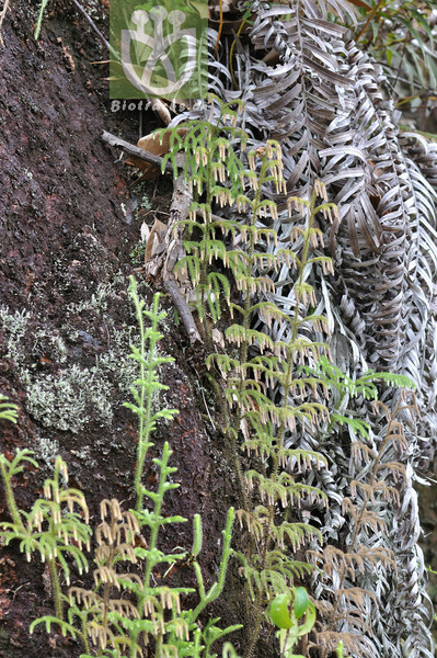 Lycopodium cernuum
