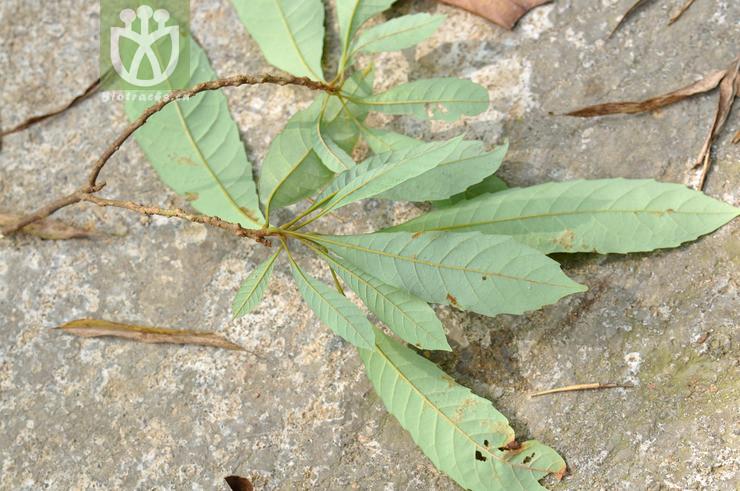 Meliosma buchananifolia