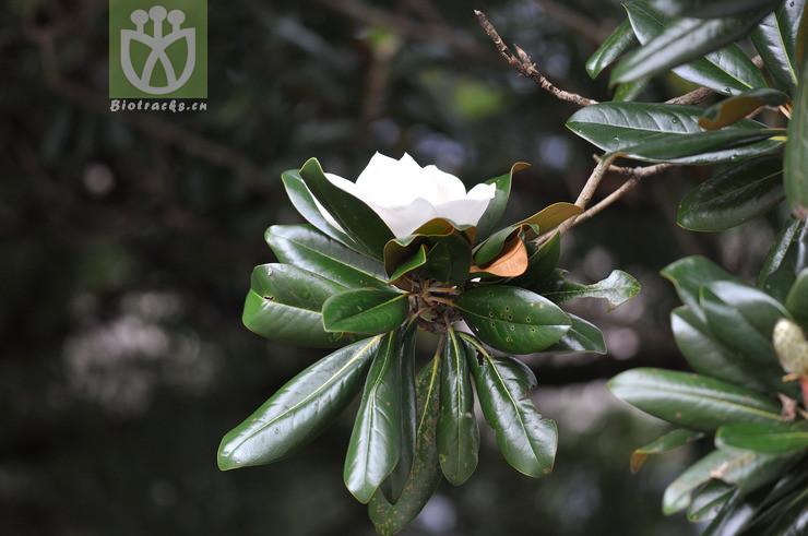 Magnolia foetida