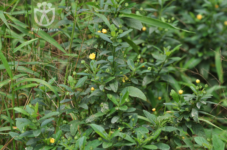 Sida rhombifolia