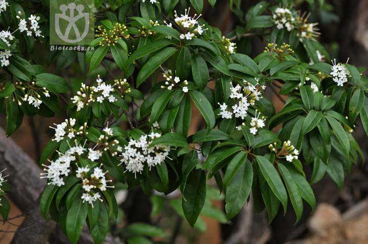 Reevesia pubescens