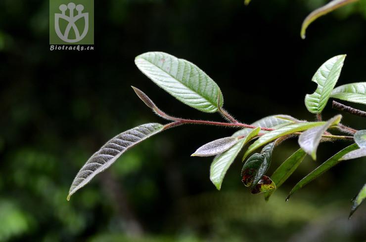 Stewartia villosa
