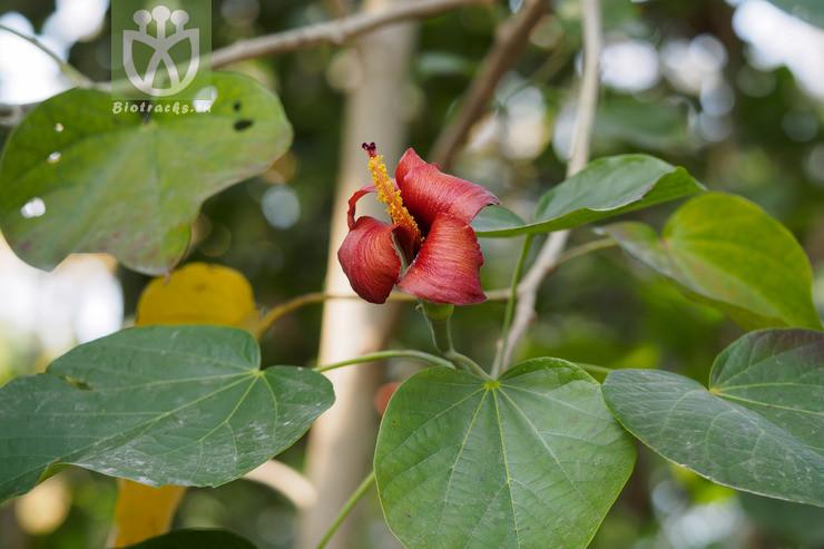 Hibiscus elatus