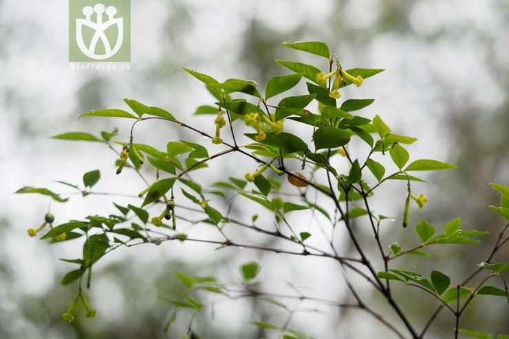 Wikstroemia hainanensis
