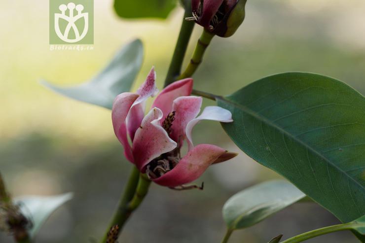 Pterospermum xylocarpum