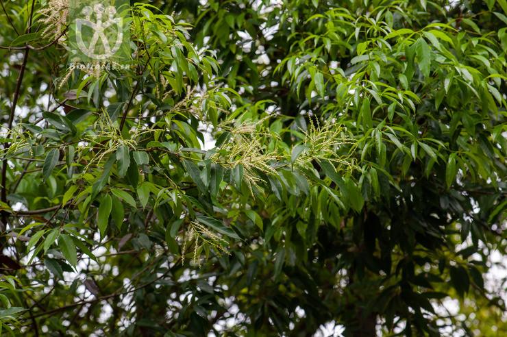 Quercus sclerophylla