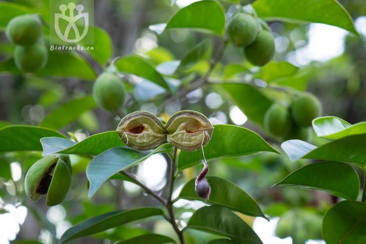 Aquilaria sinensis
