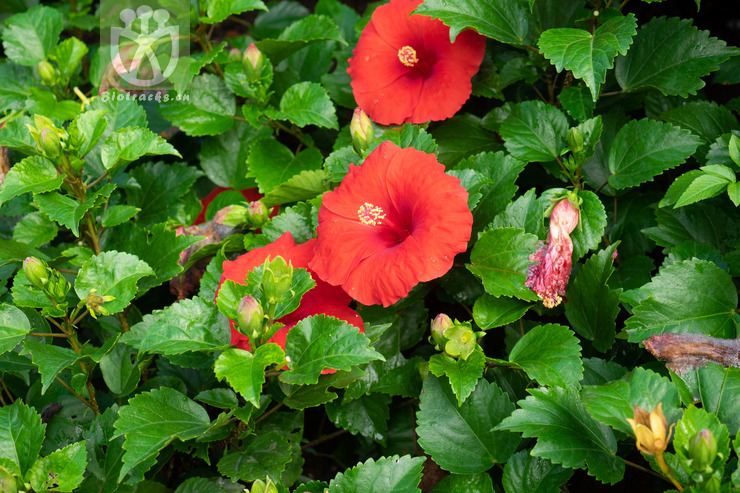 Lithocarpus litseifolius var. pubescens