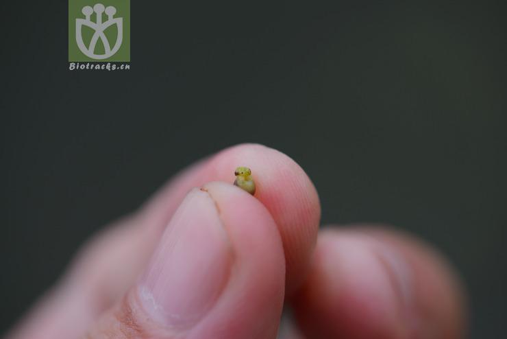Scleria poiformis