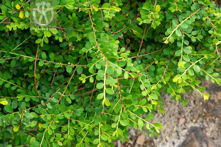 Phyllanthus cochinchinensis