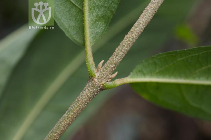 Acacia burbidgeae