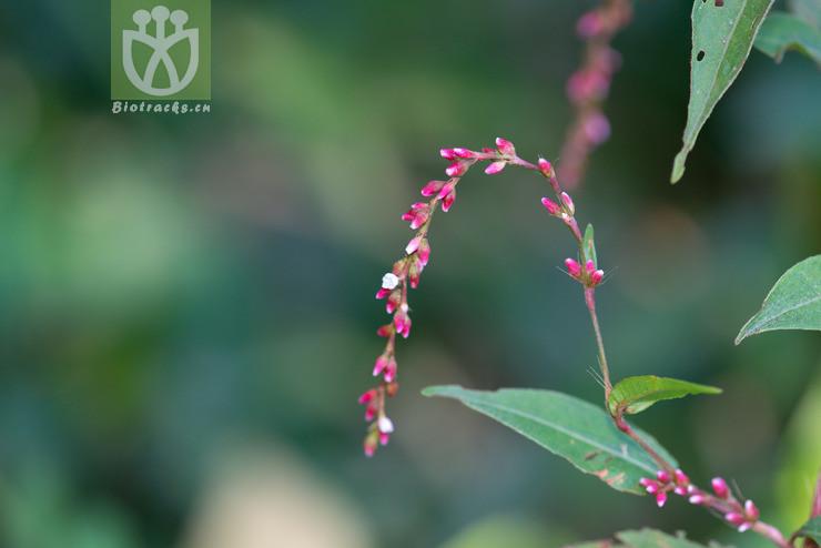 Acacia hippuroides