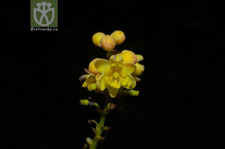 Berberis fortunei var. szechuanica