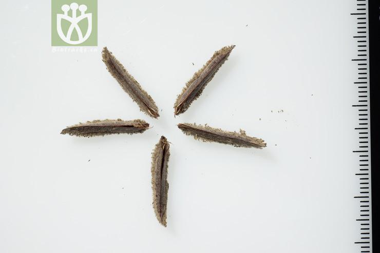 Helicteres lanceolata