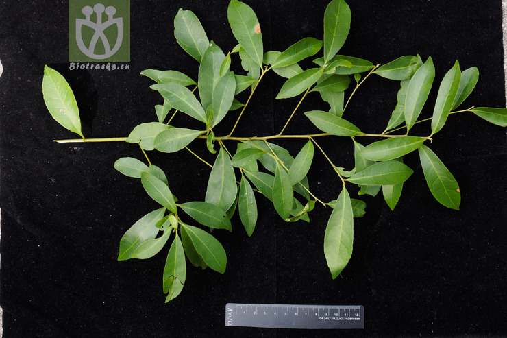 Elaeocarpus decipiens