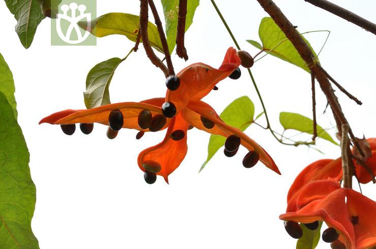 Sterculia lanceolata