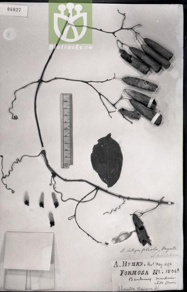 Neoalsomitra clavigera