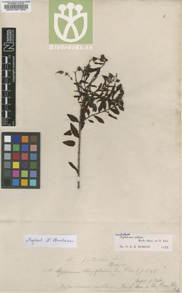 Hypericum uralum
