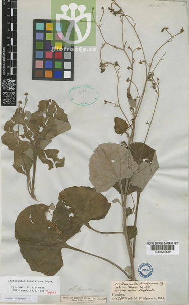 Adenocaulon himalaicum