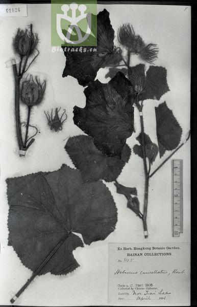 Abelmoschus crinitus