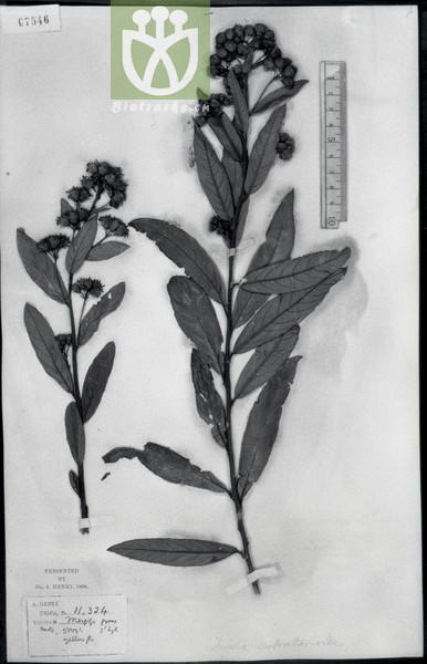 Duhaldea eupatorioides