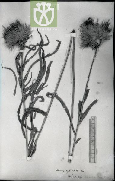 Tricholepis karensium