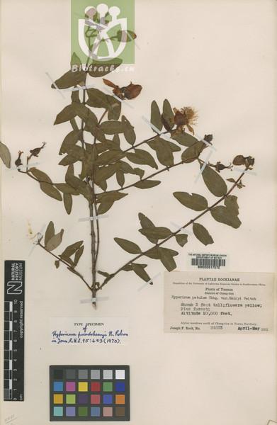 Hypericum pseudohenryi