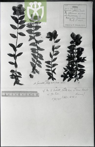 Hypericum hookerianum