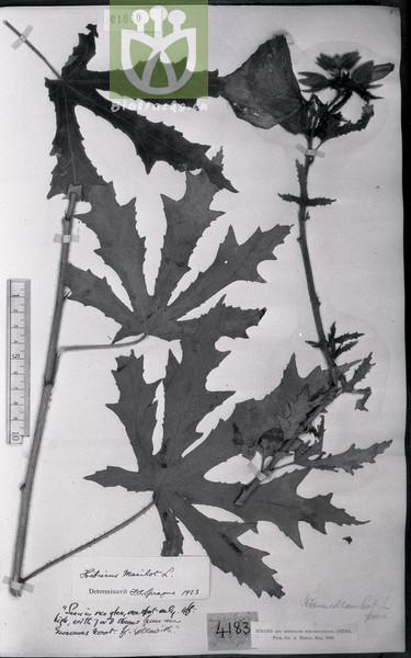 Abelmoschus manihot var. manihot
