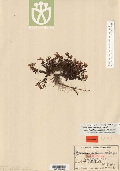 Hypericum nokoense