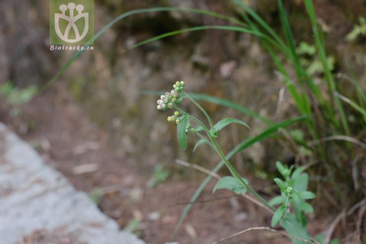 Eschenbachia japonica