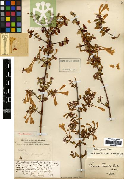 Abelia forrestii
