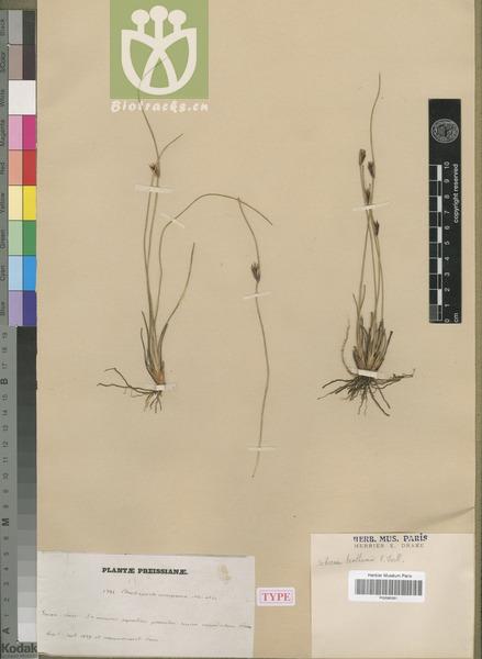 Scirpus tenuis