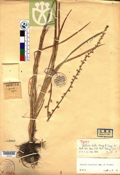Aletris laxiflora
