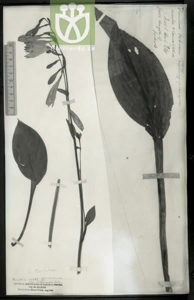 Saussurea caerulea
