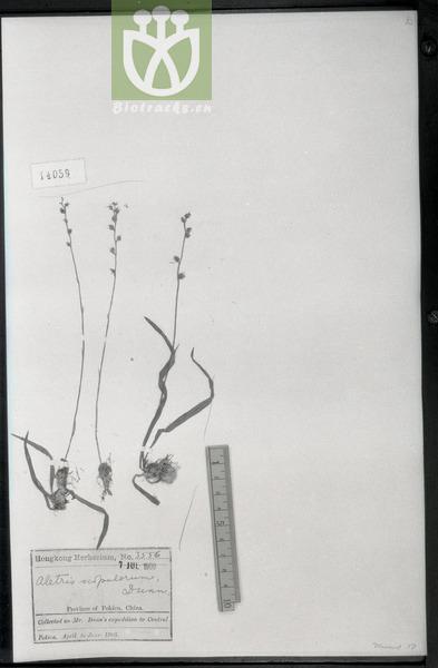 Aletris scopulorum