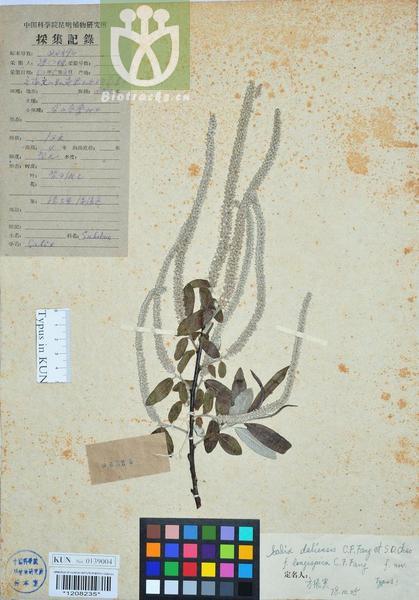 Salix daliensis f. longispica