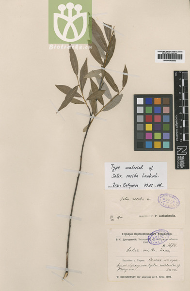 Salix rorida var. oblanceolata