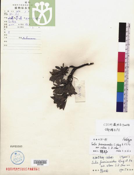 Salix faxonianoides var. villosa