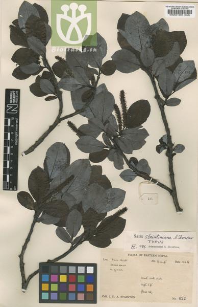 Salix staintoniana