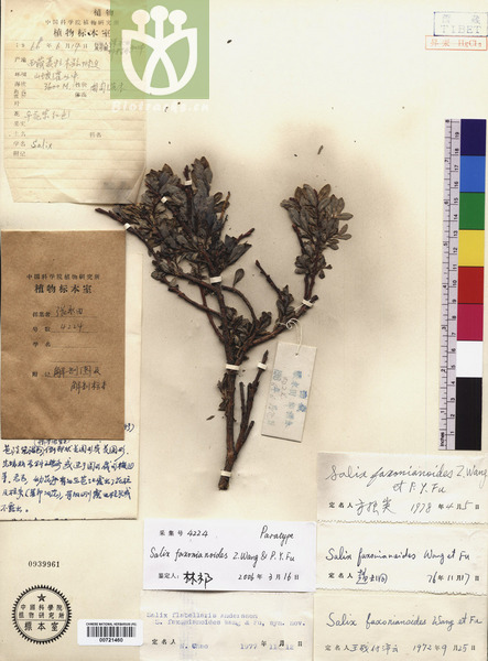 Salix faxonianoides