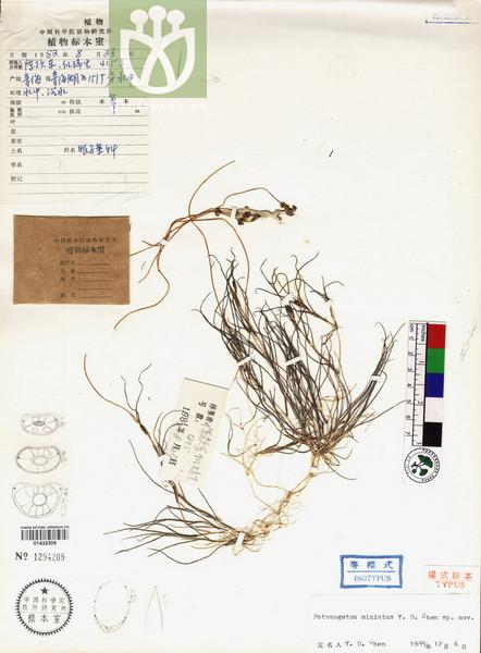 Potamogeton pectinatus var. dichotomus