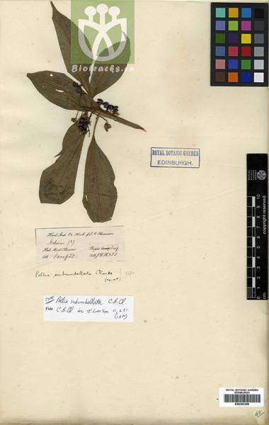 Pollia subumbellata
