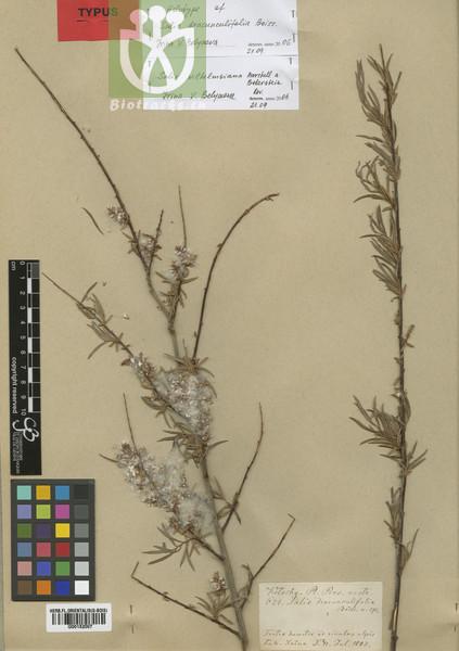 Salix wilhelmsiana var. wilhelmsiana