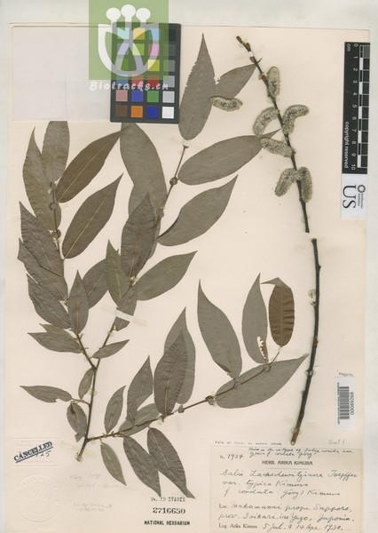 Salix rorida var. rorida