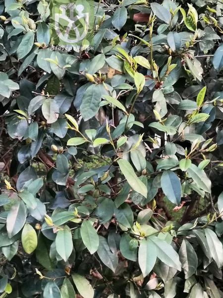Tilia mofungensis