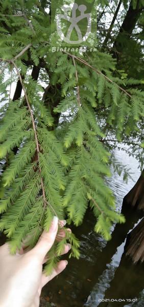 Taxodium distichum