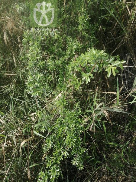 Buxus sempervirens