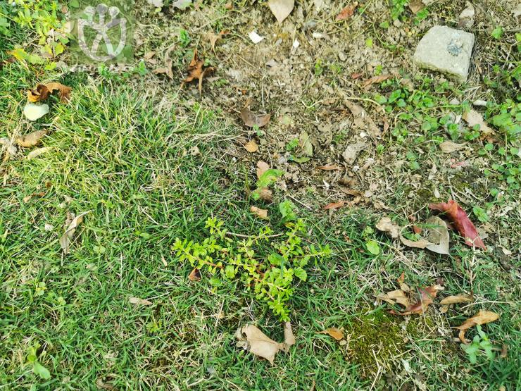 Alphitonia philippinensis